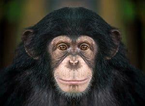 Analizan la anatomía parietal del cerebro de los monos del viejo mundo
